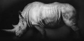 El último rinoceronte blanco