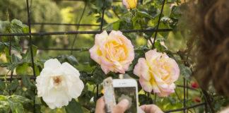 rosa de madrid en parque del oeste