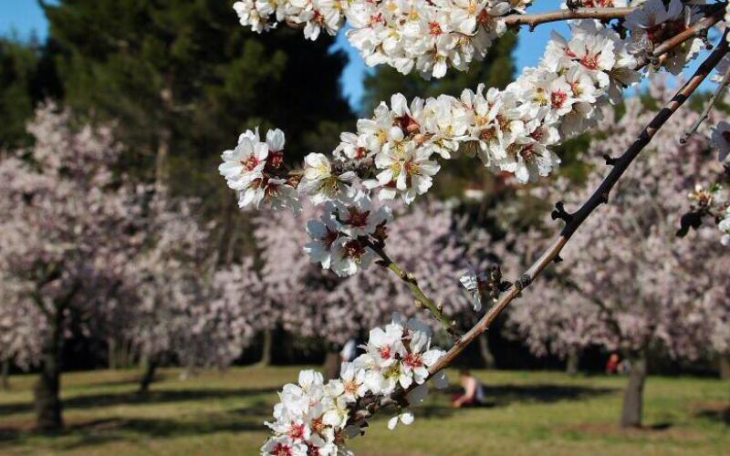 quinta de los molinos, almendros en flor madrid, floracion almendros madrid