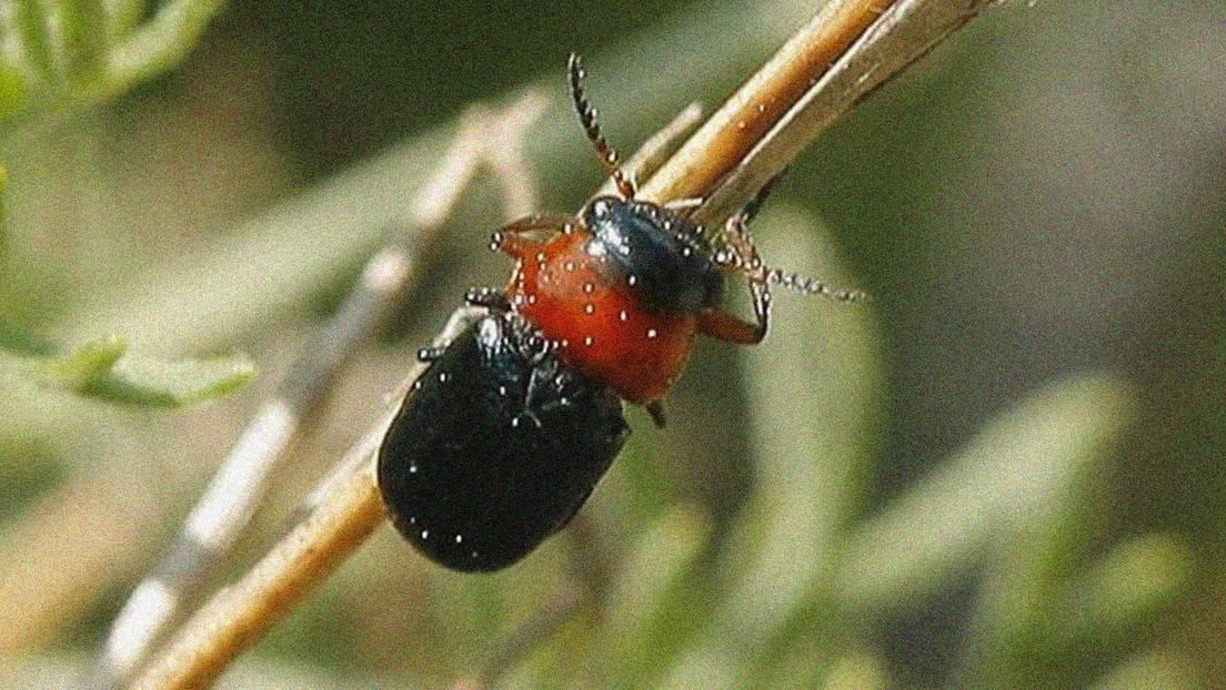 coleóptero endémico visto por primera vez en Madrid